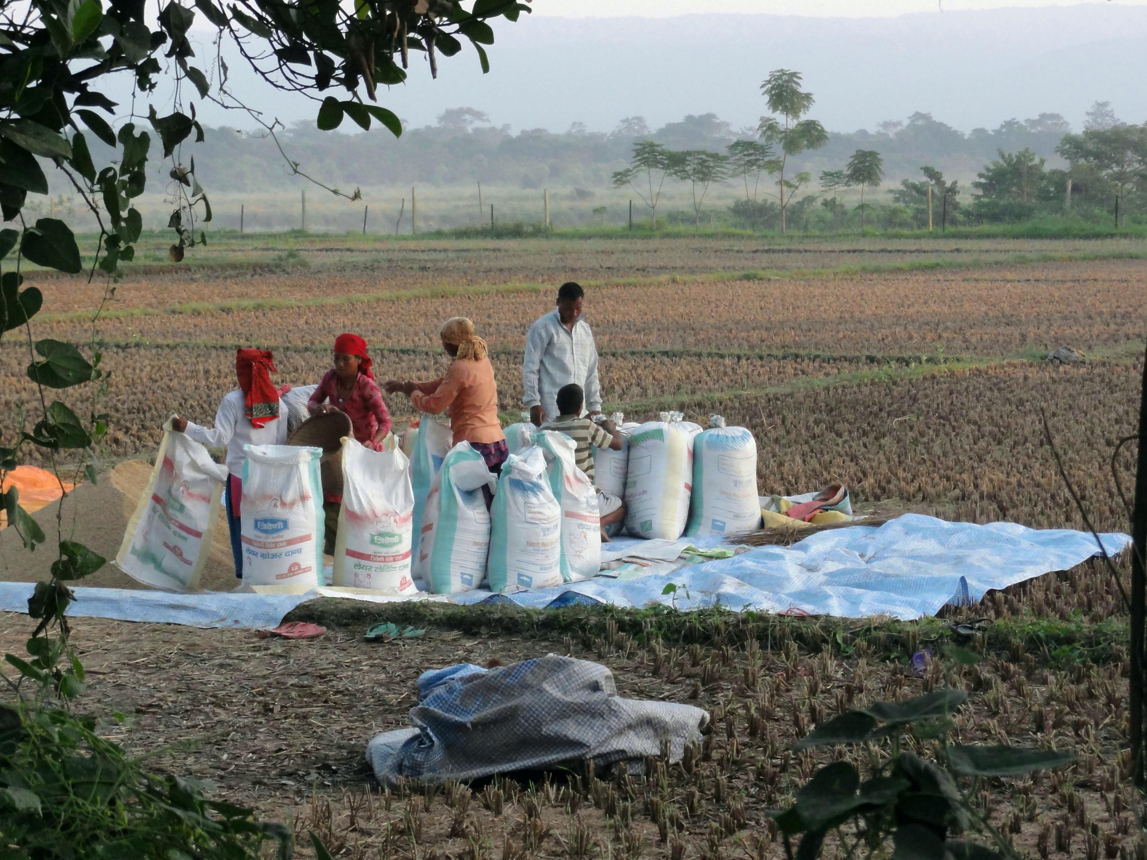 dans le térai récolte de riz